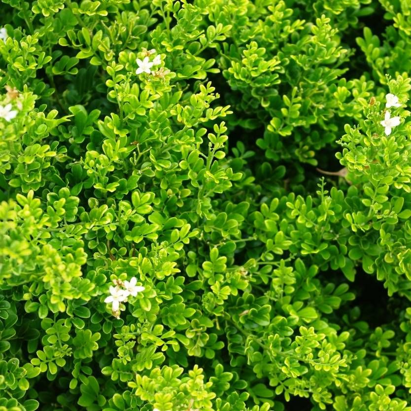 Murraya Paniculata Min A Min Dwarf Mock Orange Is A