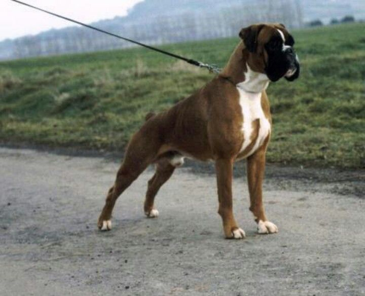 European boxer (how they should look!)
