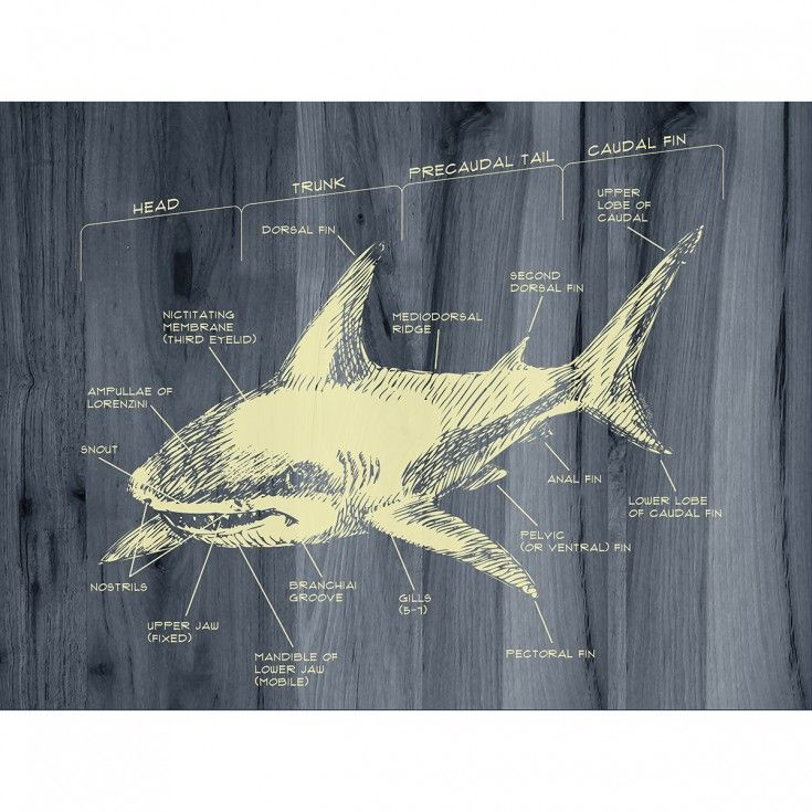 Shark Week Great White Shark Diagram Giclee Print Giclee Print Shark Week Great White Shark