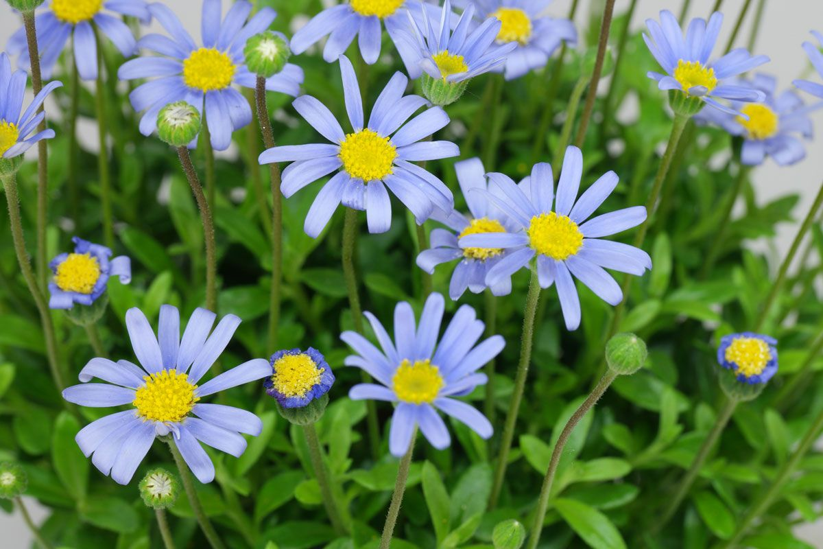 25 Felicia amelloides   Pflanzenbestimmung, Pflanzen