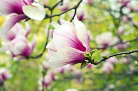 Pink Magnolia Magnolia Flower Flowers Magnolia