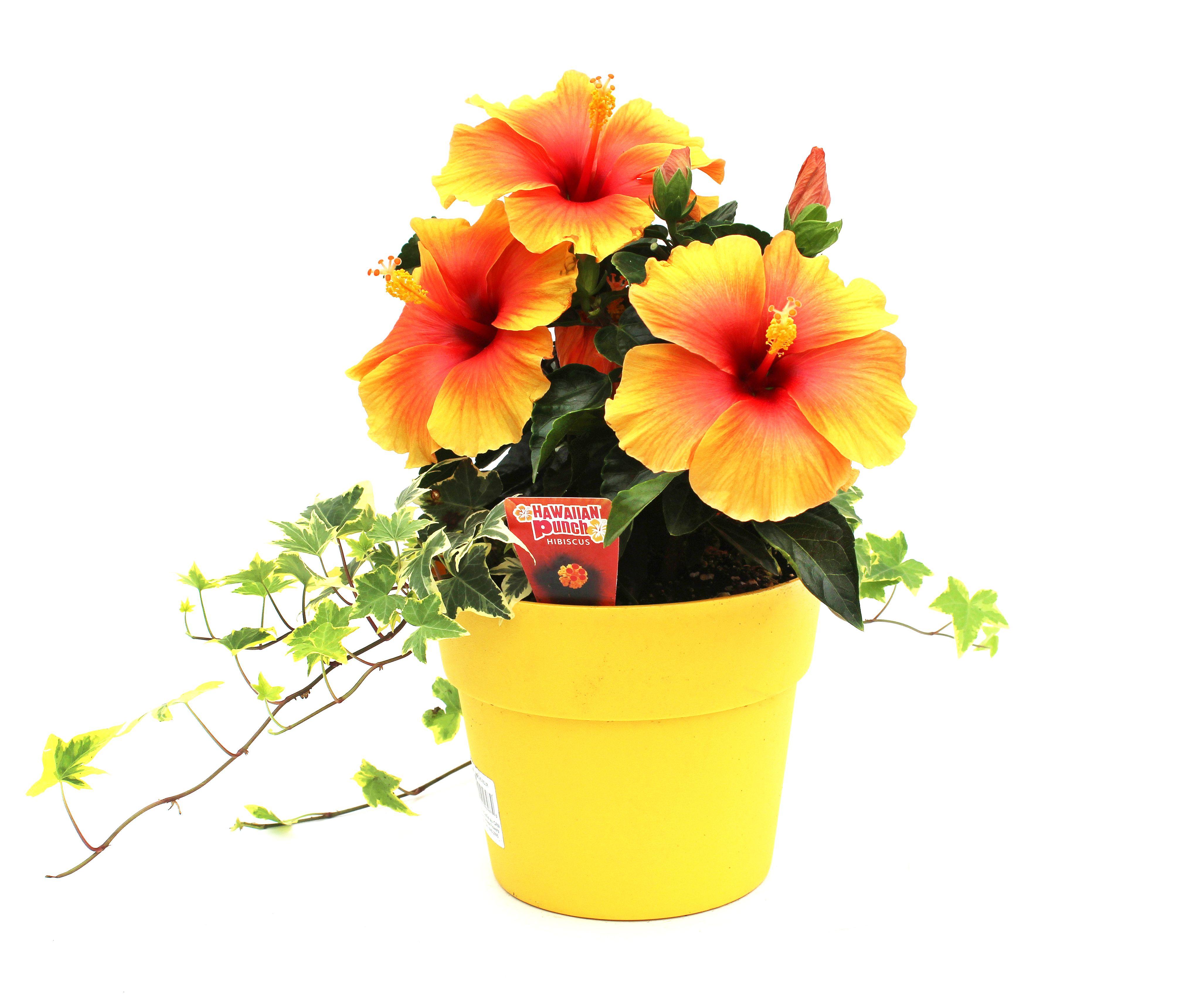 Hibiscus Plant In 2020 Hibiscus Plant Hibiscus Hybrid Tea Roses