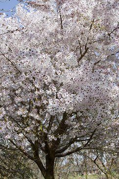 Cherry Trees For Small Gardens Garden Shrubs Small Gardens Ornamental Cherry