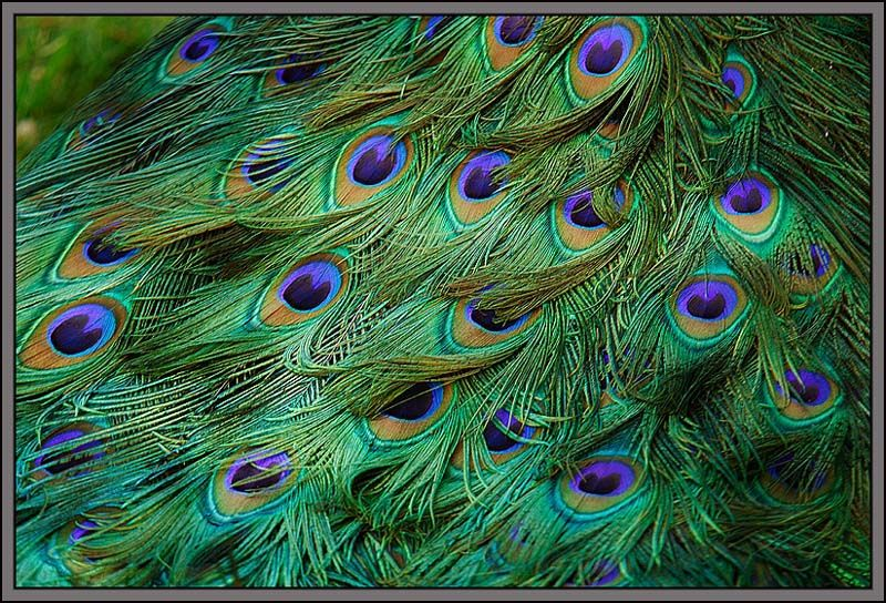 MAGNIFICENT! In feng shui, a peacock is symbol of beauty, prosperity, royalty, love, purity and peace and some believe that peacock feathers indoors signify protection of the energy of the home environment.