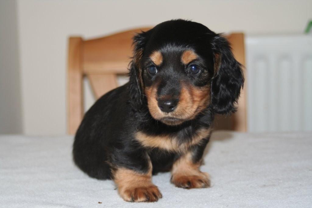 Dachshund Puppies Boris Karloff 16 11 08 21 05hrs 6oz Birth