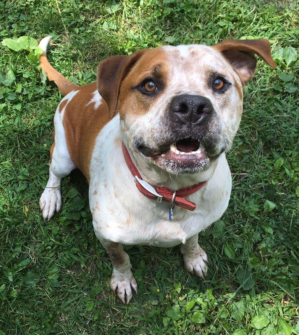 Bullypit Dog For Adoption In Clarkston Mi Adn 625979 On
