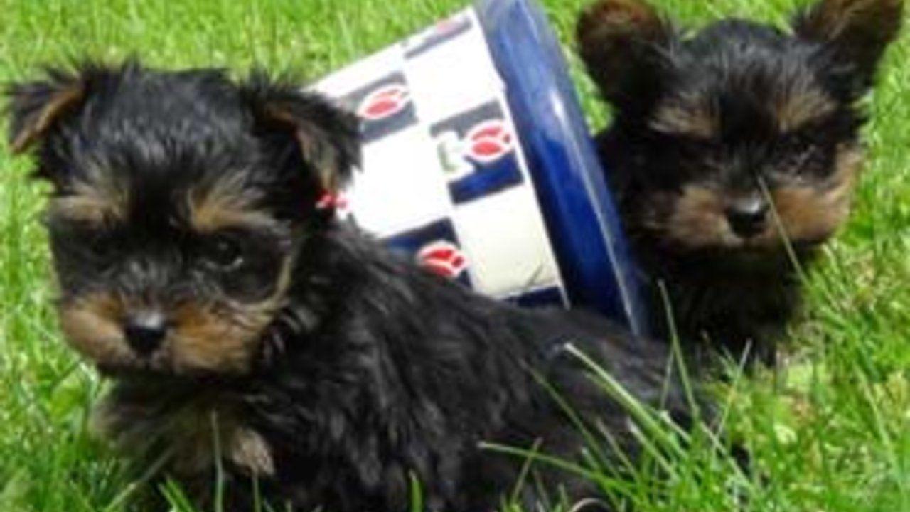 Yorkshire Terrier Welpen Kaufen Direkt Vom Zuchter Kontaktvermittlung Durch Welpenvermittlung In 2021 Chihuahua Welpen Kaufen Labradoodle Welpen Yorkshire Terrier