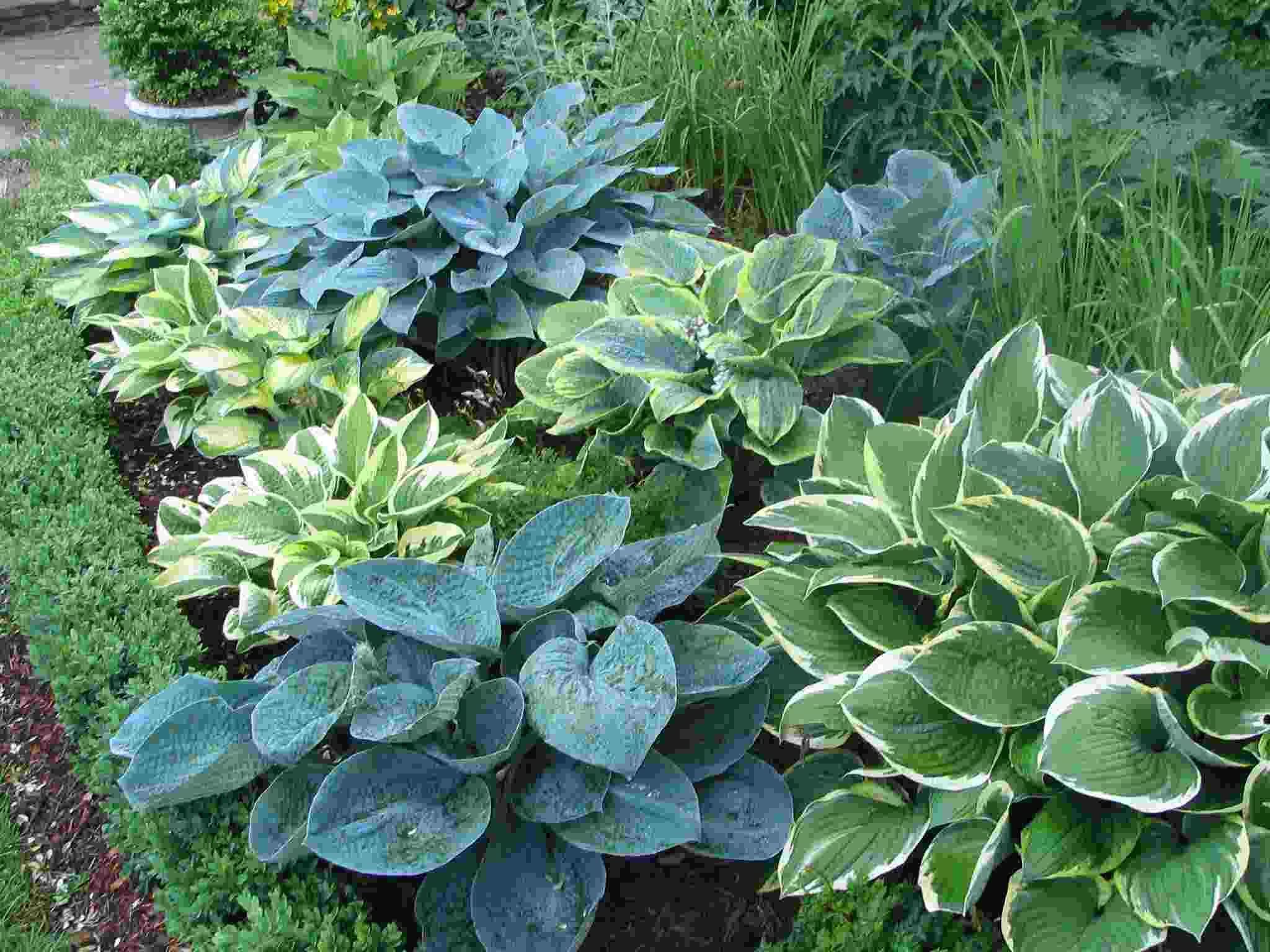 Hosta Garden Designs choose a category gardens hostas daylilies other Gardens Hostas