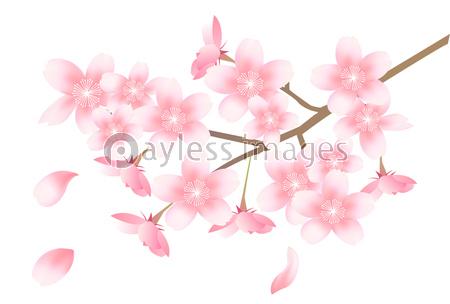 桜 春 花 背景の写真 イラスト素材 Xf3115210529 ペイレス