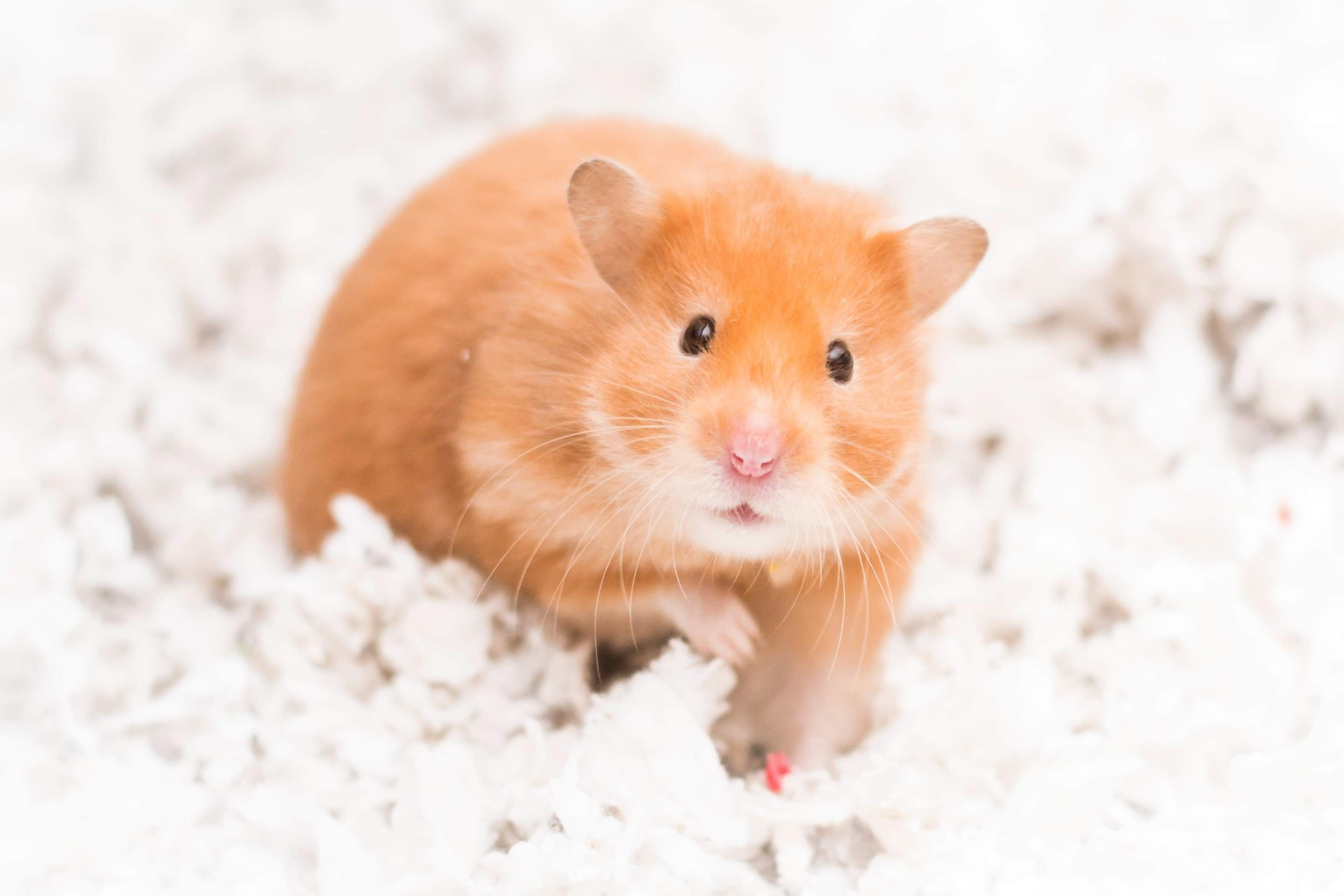 Perks Of Having A Curious Hamster They Always Look At The Camera Hamster Hamsters Rodent Pet Hamster Pets Animals