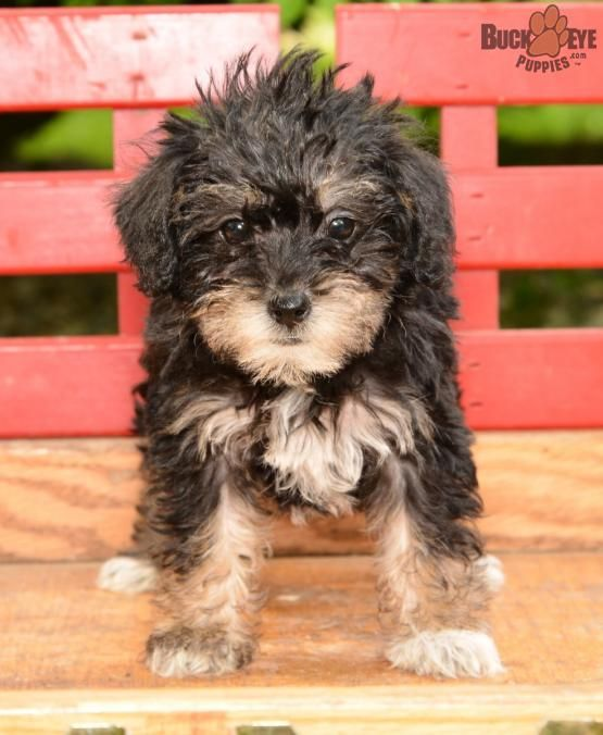 Muffin! Mini Schnoodle Puppy for Sale in Beach City, OH