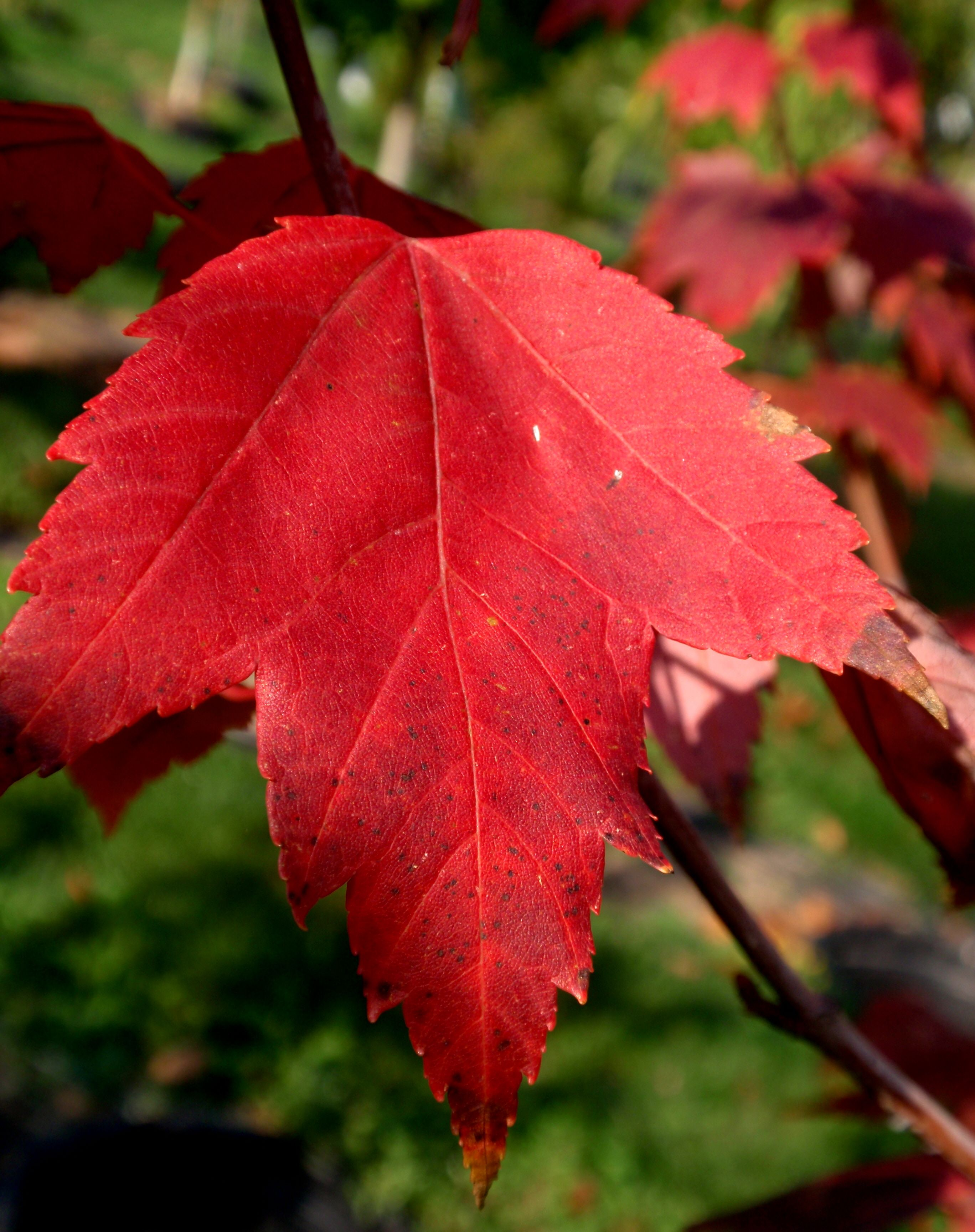 red maple leaf on pin by snavely s garden corner on trees shade trees fall colors foliage pinterest