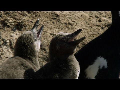 youtube flightless bird