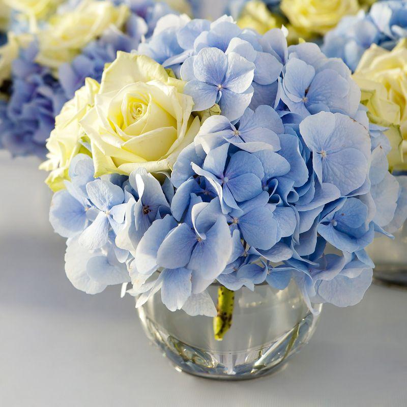 blaue Stephanotis
