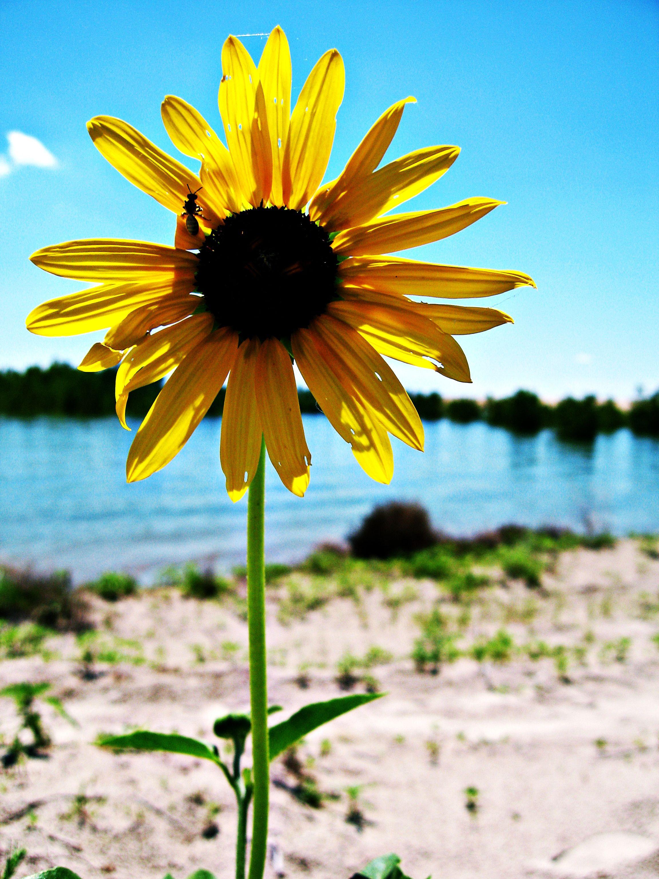 Sunflowers at Lake McConaughy