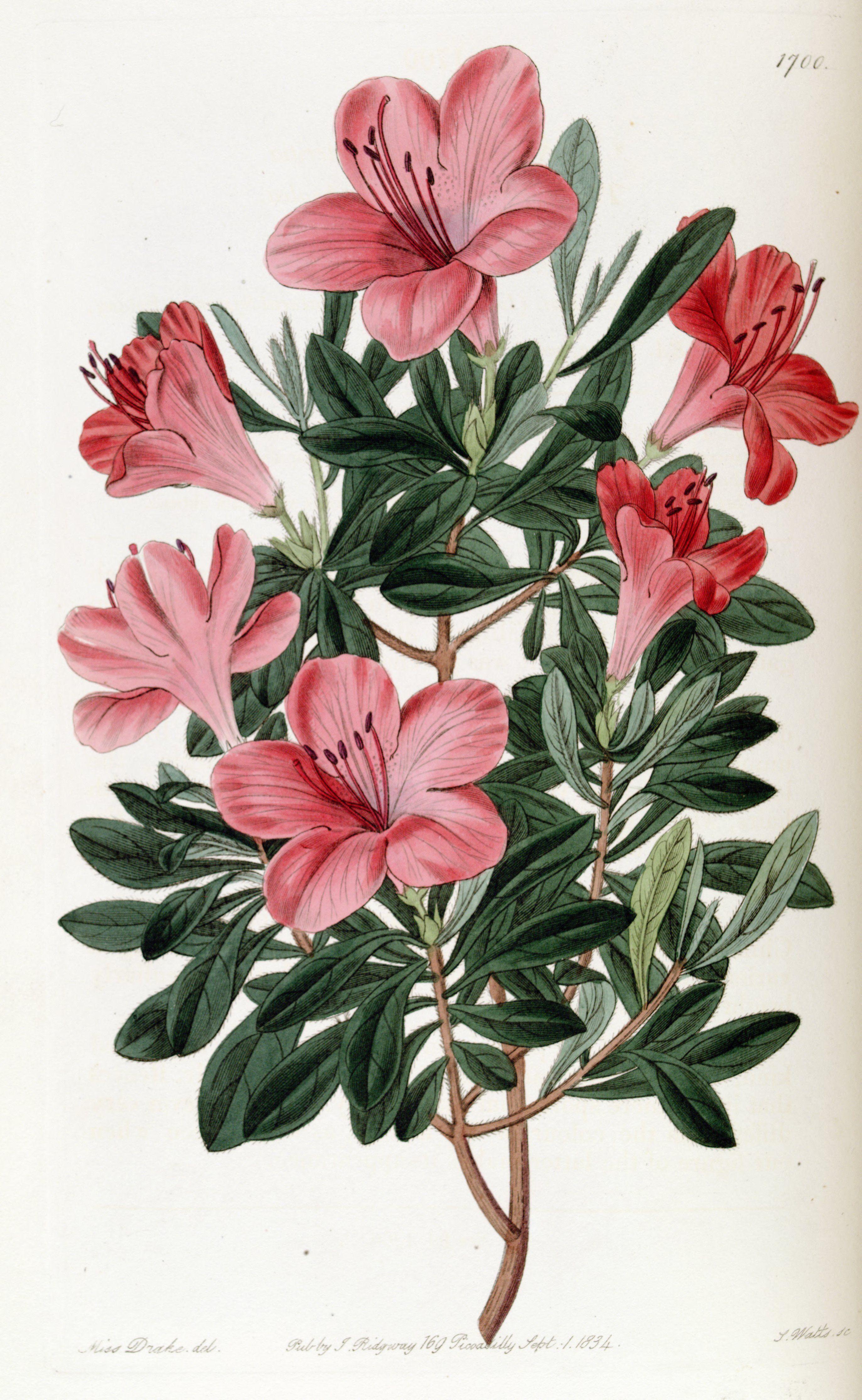 Azalea Rhododendron Indicum Var Lateritia Circa 1835 Flower Drawing Botanical Drawings Vintage Botanical Prints