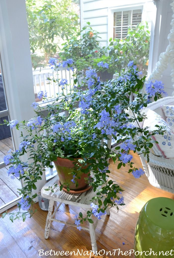 Overwintered this Plumbago in the garage this past winter. It made it and is blooming up a storm here on the porch.