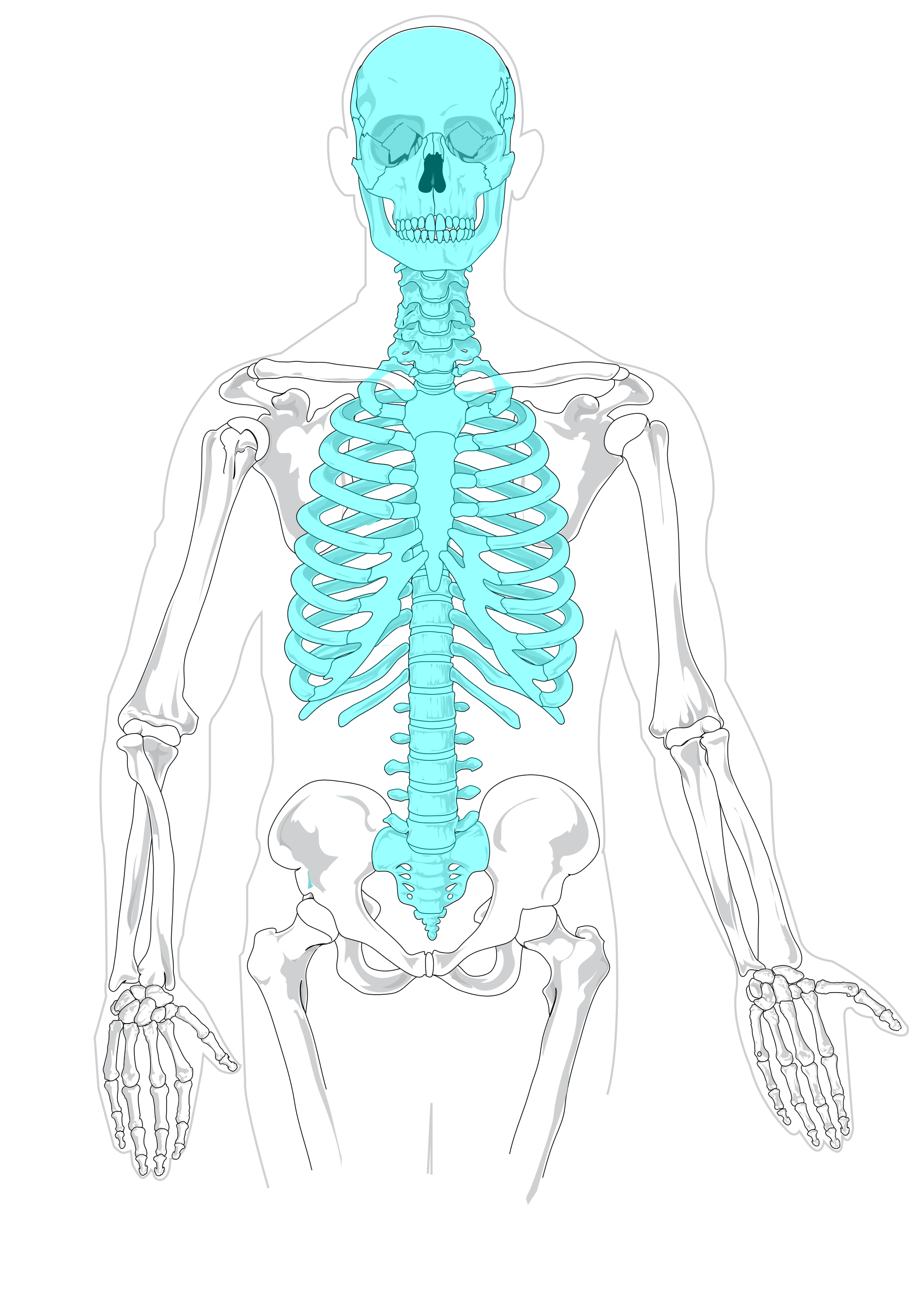 File:Axial skeleton diagram blank.svg - Wikimedia Commons | Home ...