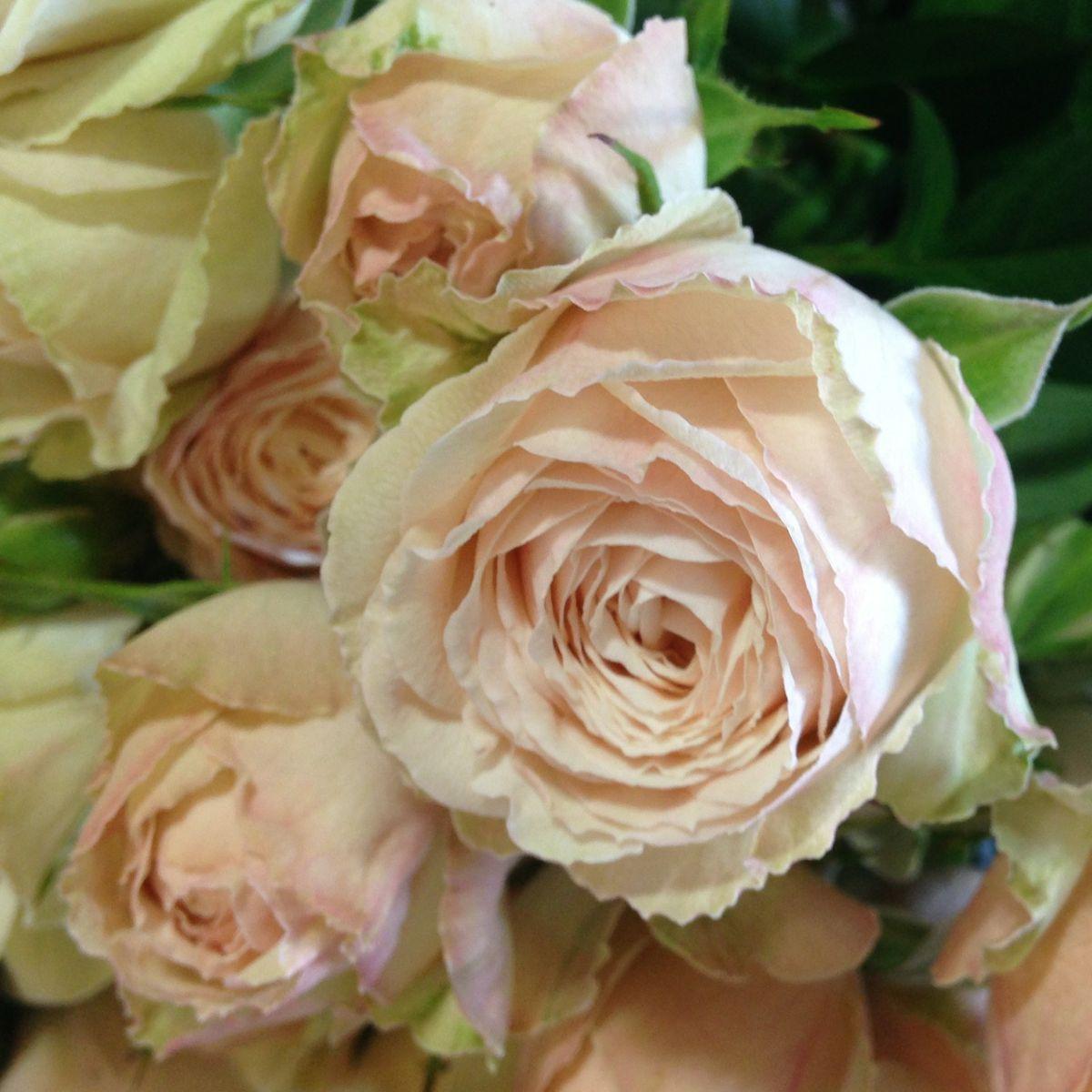 Malaya Gem Garden Spray Rose  Blush Garden Rose  Flowers