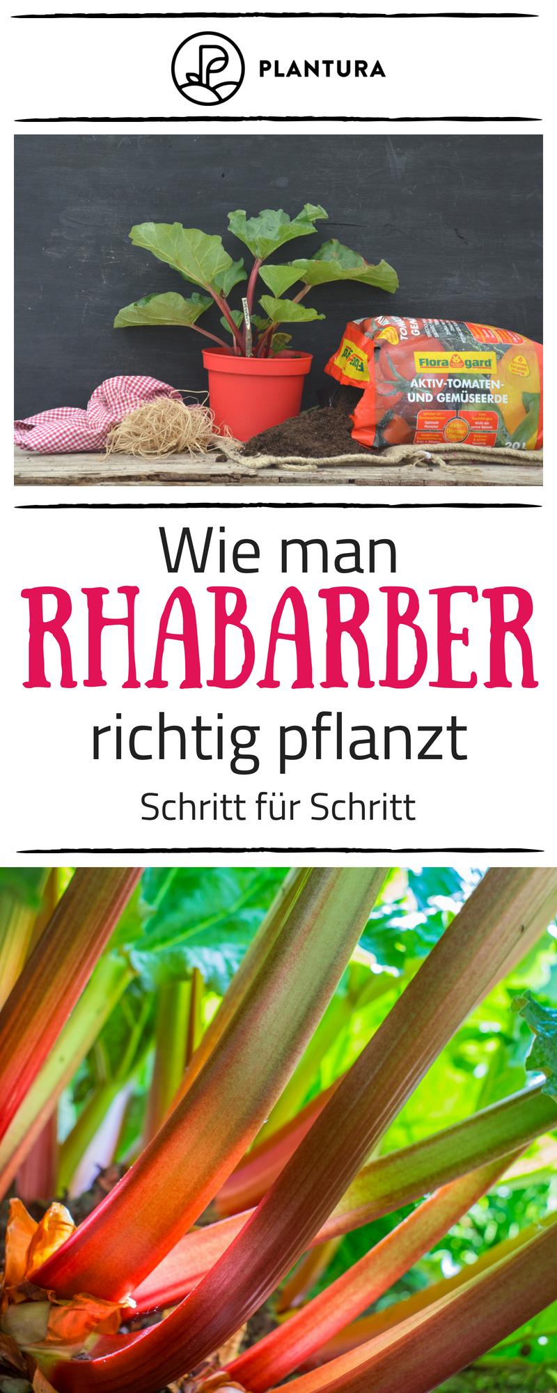 Rhabarber Pflanzen Standort Zeitpunkt Co Plantura Rhabarber Pflanzen Pflanzen Rhabarber
