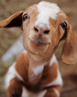 Image result for Cute goat
