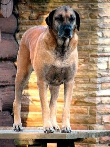 Great Dane Rottweiler Mix What A Bear Of A Dog I Think I