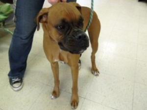 Adopt Angel On Petfinder Puppy Adoption Boxer Dogs Adoption