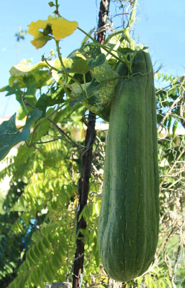 "Picture of 2 (TWO) Live Gourd Luffa Vegetable Plant Fit 4"" Pot"