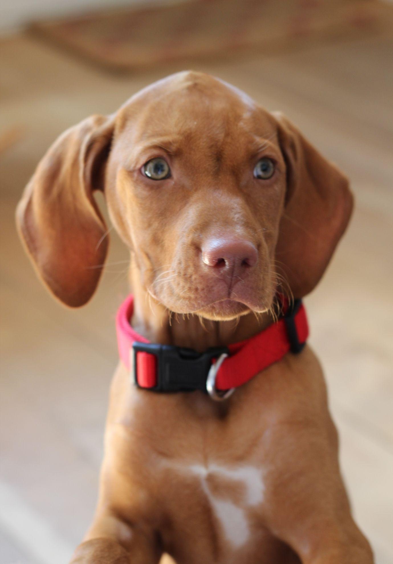 Vizsla puppies available in california