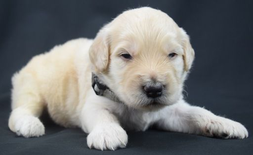 Litter Of 7 Goldendoodle Puppies For Sale In Omaha Ne Adn 30816