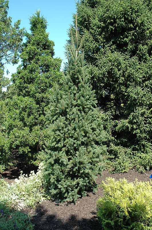 Columnar Norway Spruce Landscape Gardening Flower And Vegetables