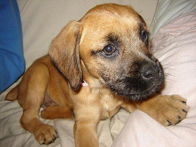 Boxer Doodle Hybrid Dogs Dogs Dog Id
