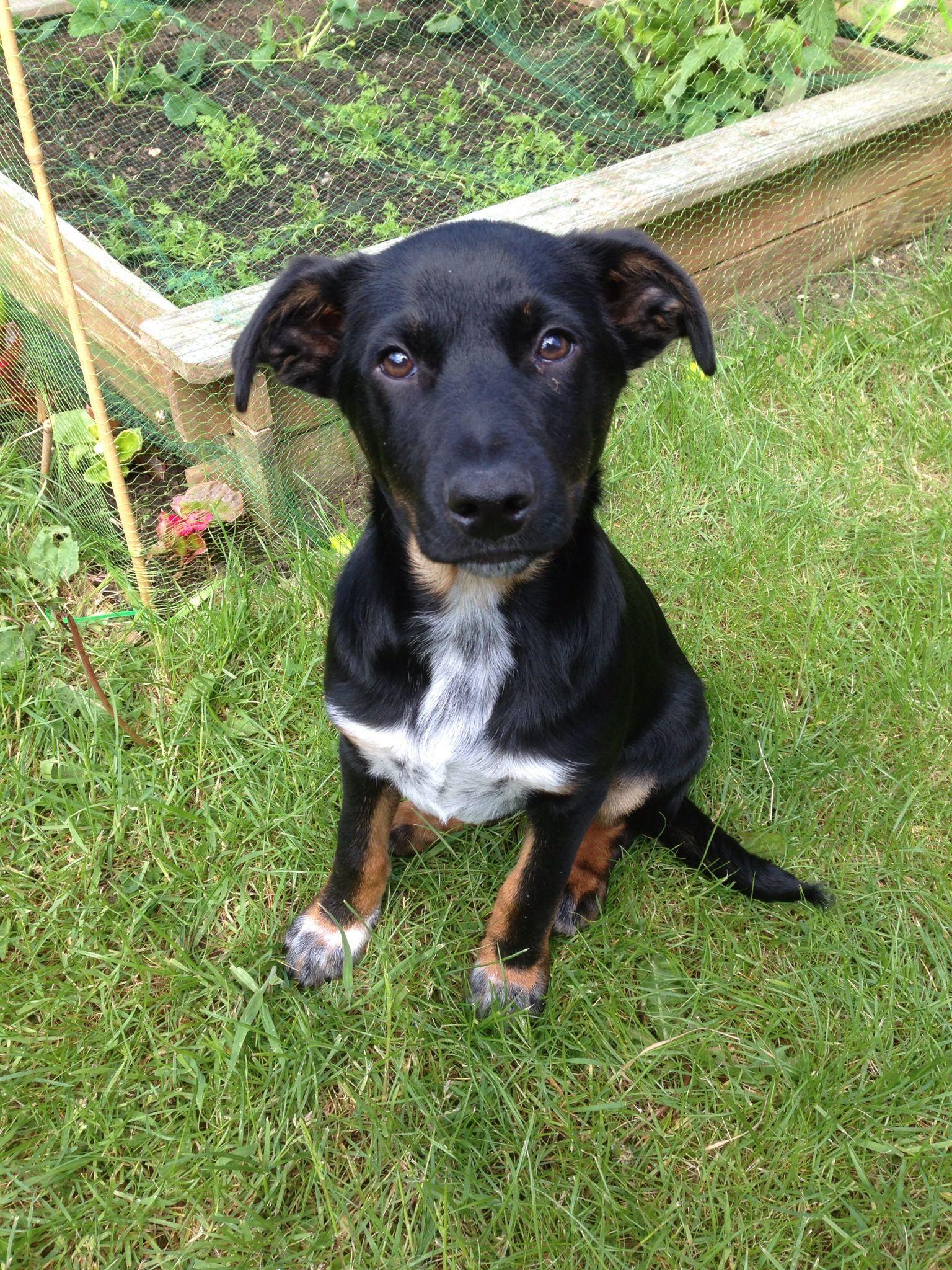 Kelpie Collie Cross Dog Crossbreeds Animals Dogs