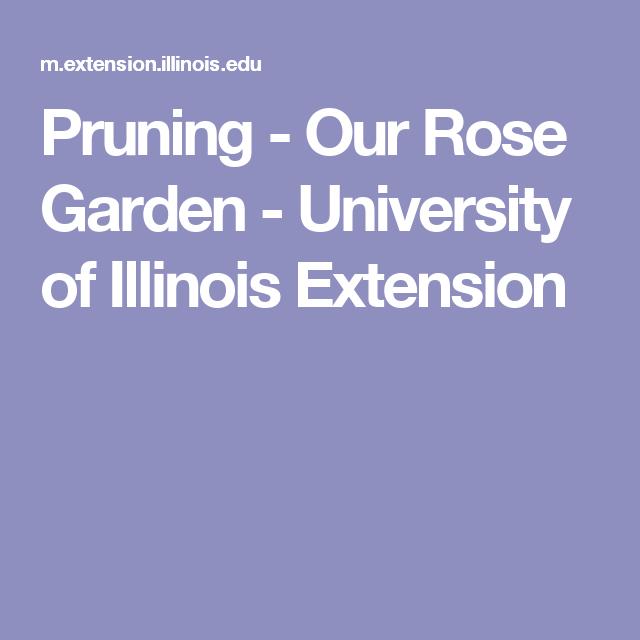 Pruning Our Rose Garden University Of Illinois Extension Rose Garden Prune Rose