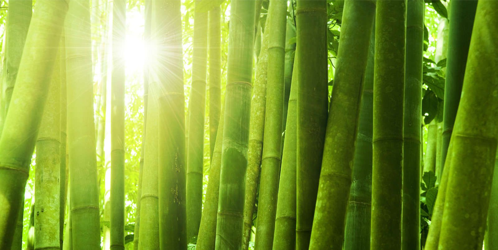Giant Bamboo Beautiful Pinterest Bambus Tapeten And Bambus Tapete