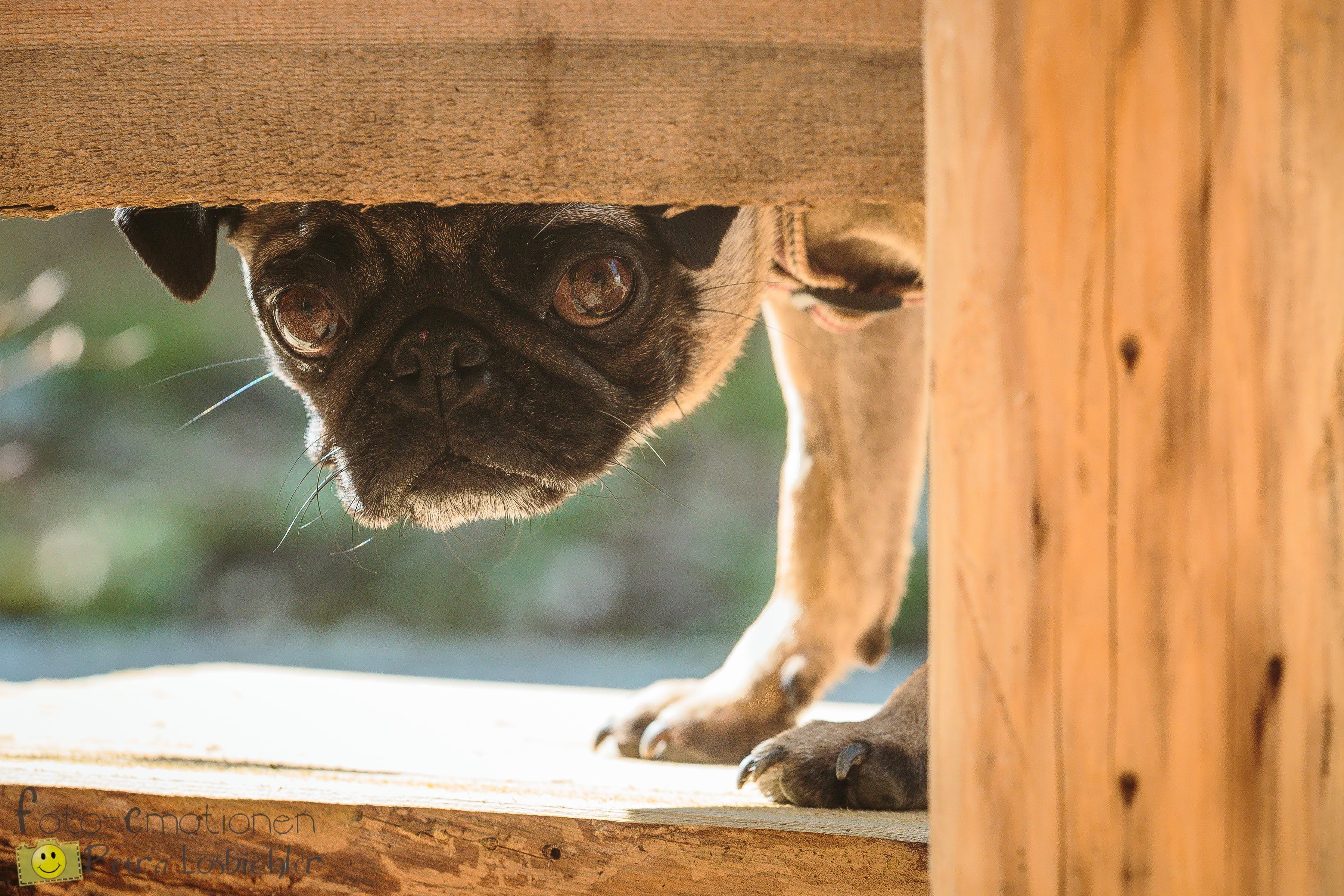 Kleiner Waldkobold Hund, Mops, dog, pug www.foto-emotionen-pl.de