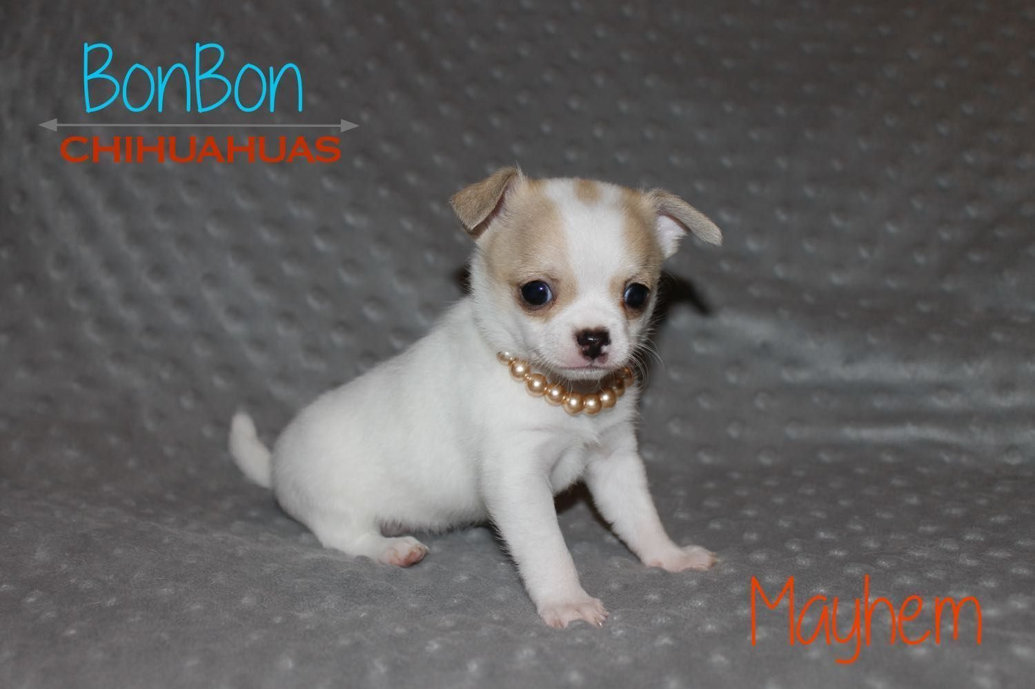 Chihuahua Puppies For Sal Chihuahua Puppies For Sale Chihuahua