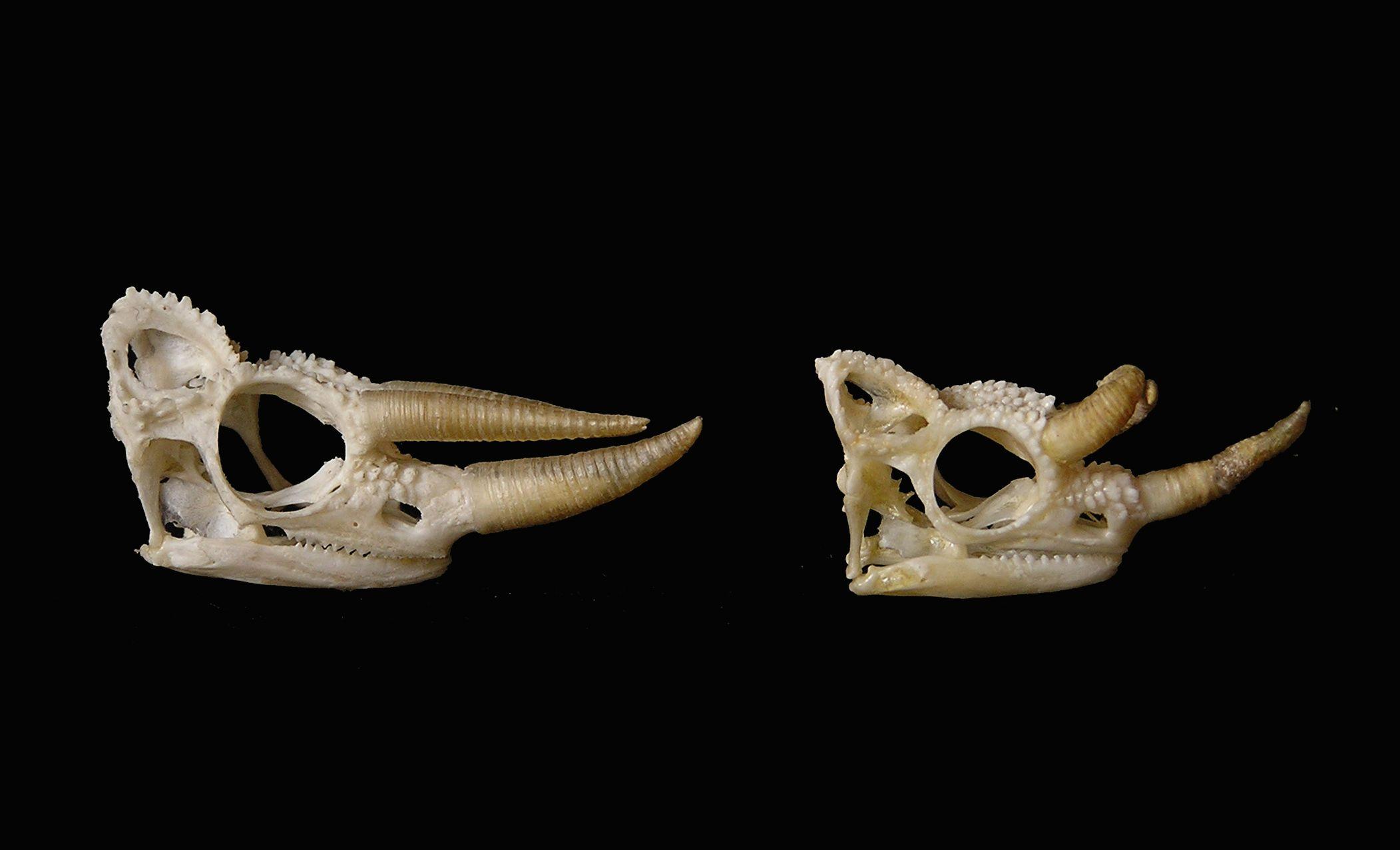 skull of triocerops jacksonii a chameleon art