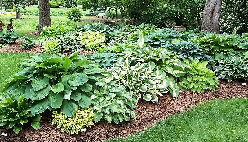 Archiwa Rosliny Do Cienia W Ogrodzie Wojciech Wardecki Shade Garden Hosta Gardens Backyard Landscaping