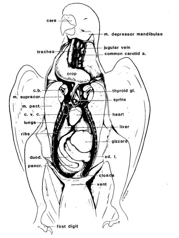 pigeon dissection abdominal cavity worksheet yahoo image search rh pinterest com Pigeon Dissection Lab Pigeon Dissection Guide Air Sac