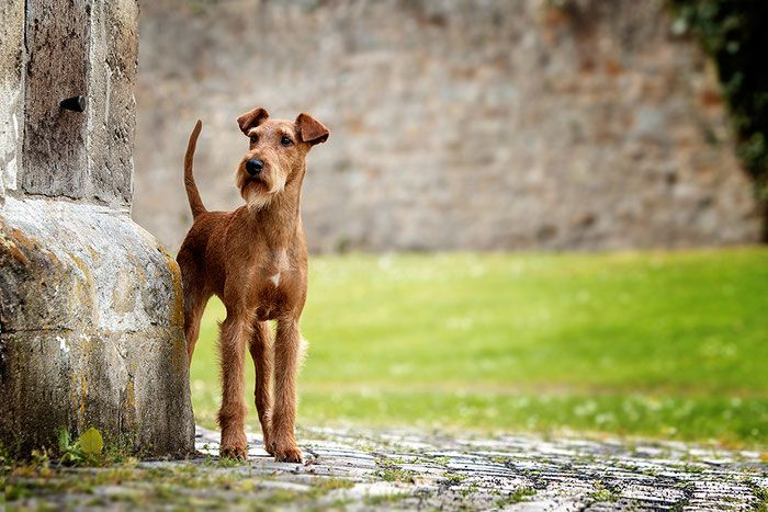 Pin by Trinity on Halsa Irish terrier, Terrier, Dogs