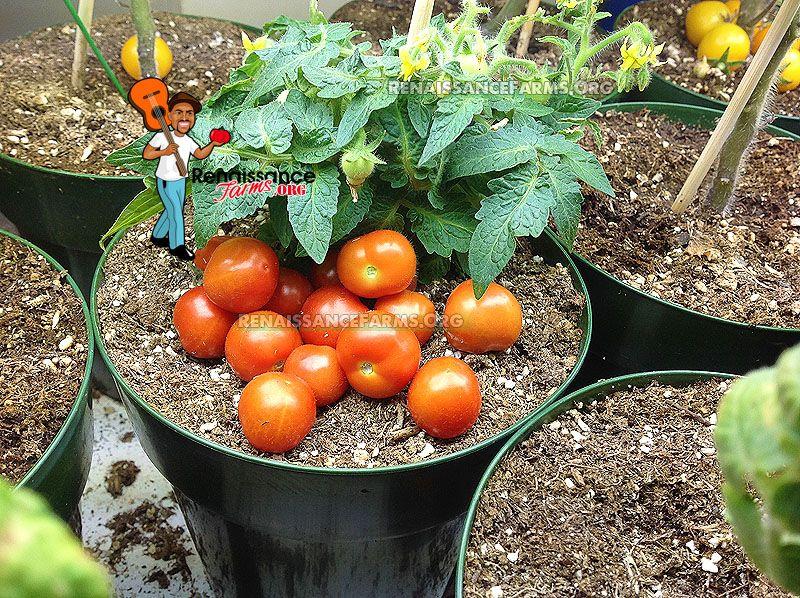 Baby Micro Dwarf Tomato Tomato Tomato Seeds Tiny Plants