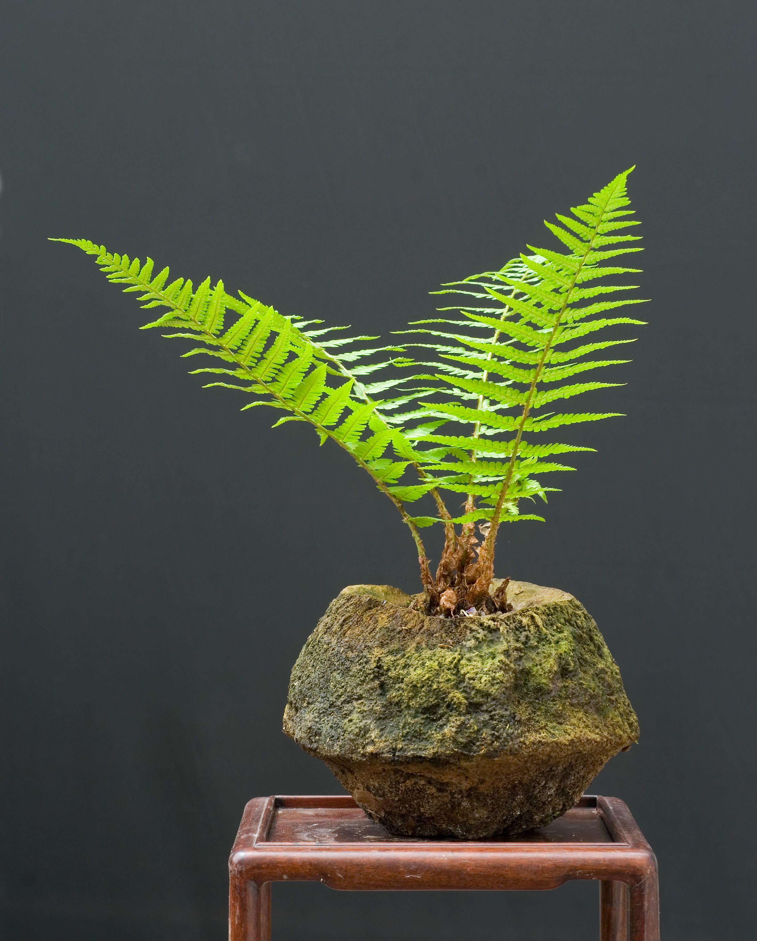 Pin von ramona dee auf mame bonsai kusamono shitakusa for Bonsai pflanzen