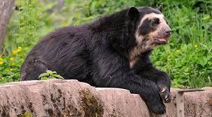 Resultado de imagen para oso tibetano