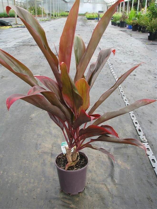 Palm Lily Cordyline Rubra Suitable For Indoor Pot Striking Tropical Plant Plants Tropical Plants Australian Plants