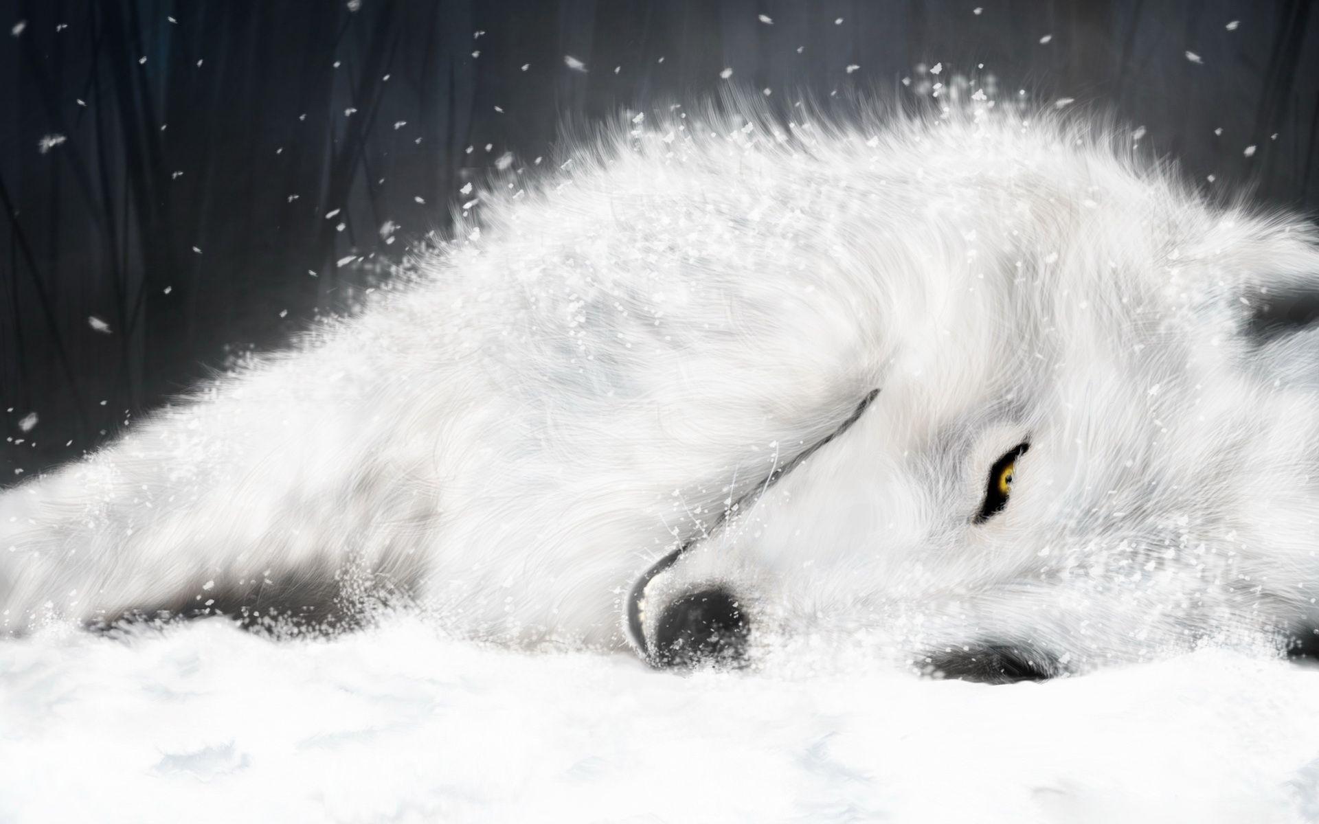White Wolf HD Desktop Wallpaper Widescreen High Definition