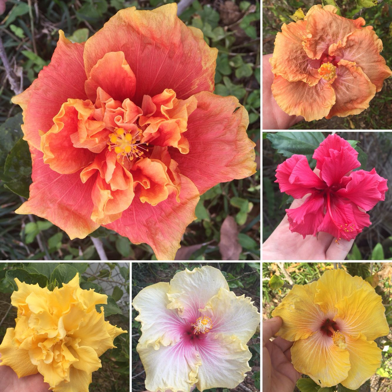 Hibiscus Are A Beautiful Addition To A Florida Yard!