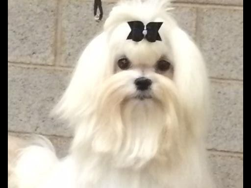 We Are Maltese Breeders For Show Now Taking Over The Well Known