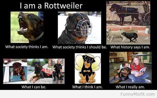 Pin By Angela Marie On Rottie Love Rottweiler Rottweiler Love