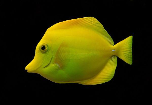 Reefstudy Com Yellow Tangs Tang Fish Beautiful Fish Aquarium Fish